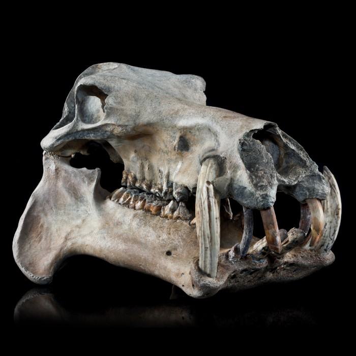 Hippopotamus Lemerlei Fossil Skull 1
