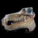 Hippopotamus Lemerlei Fossil Skull 2