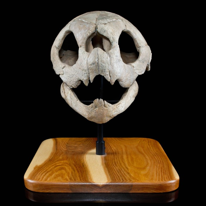 Sea Turtle Fossil Skull  1