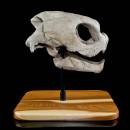Sea Turtle Fossil Skull  2