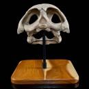 Sea Turtle Fossil Skull  3