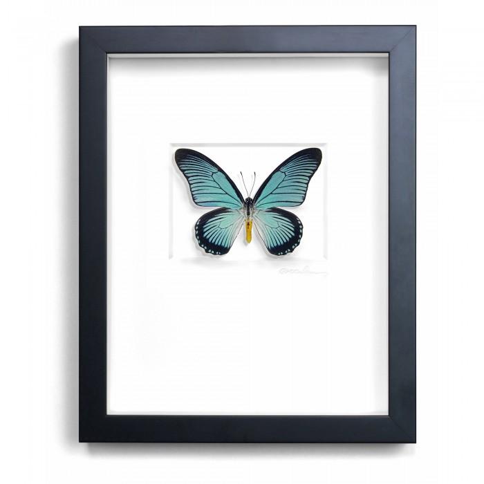 11 x 14 African Blue Swallowtail 1