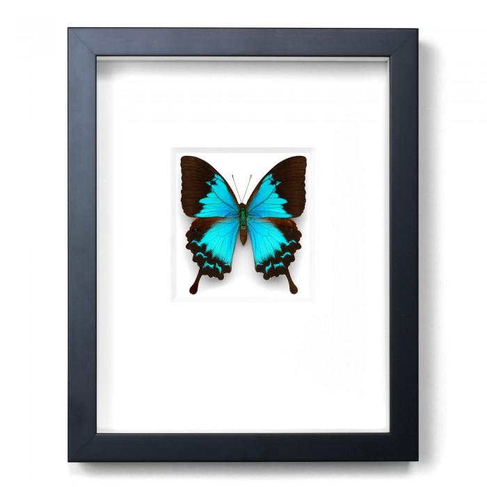 11 x 14 Cobalt Swallowtail Butterfly 1