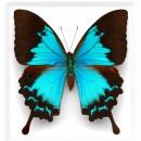 11 x 14 Cobalt Swallowtail Butterfly 2