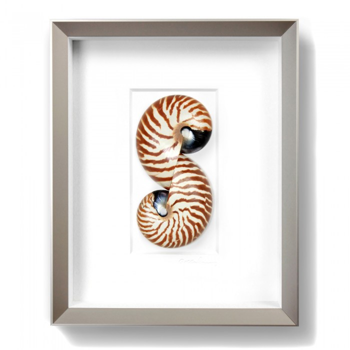 11 x 14 Tiger Nautilus 1