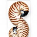 11 x 14 Tiger Nautilus 2