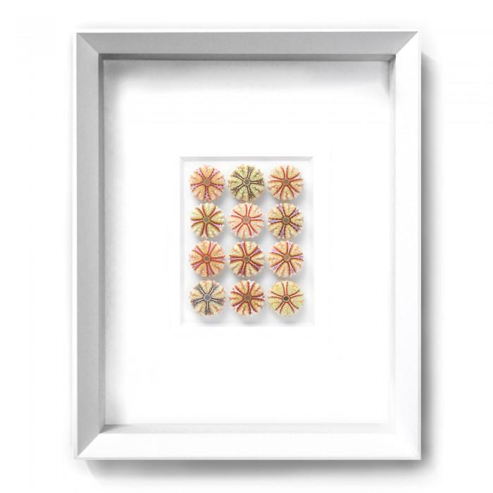 11 x 14 Variegated Urchins 1