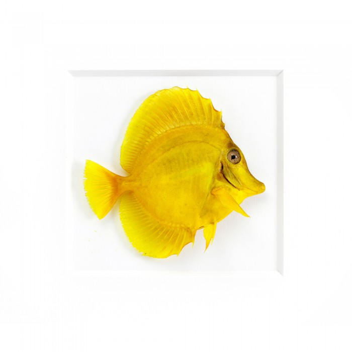 11 x 14 Yellow Tang Fish 1