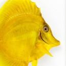 11 x 14 Yellow Tang Fish 2