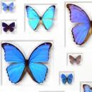 24 x 30 Cerulean Butterflies 2