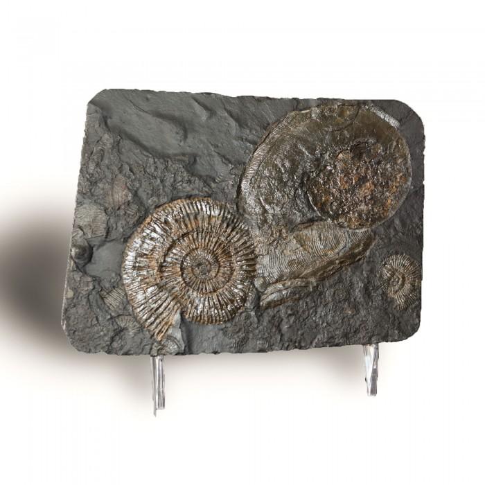 NAT_Ammonites SM