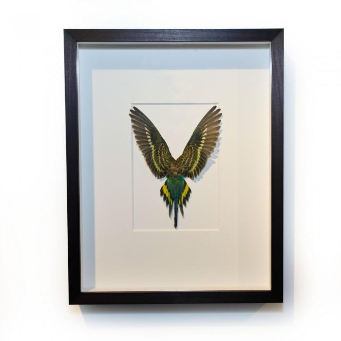 14 x 18 Shell Parakeet Bird – Green, black and yellow 1