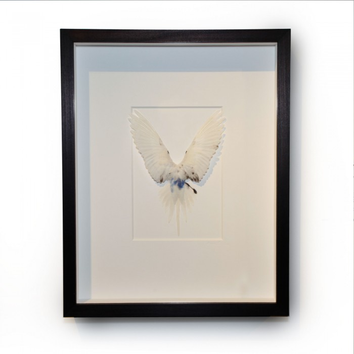 14 x 18 Shell Parakeet Bird – White with blue accents 1