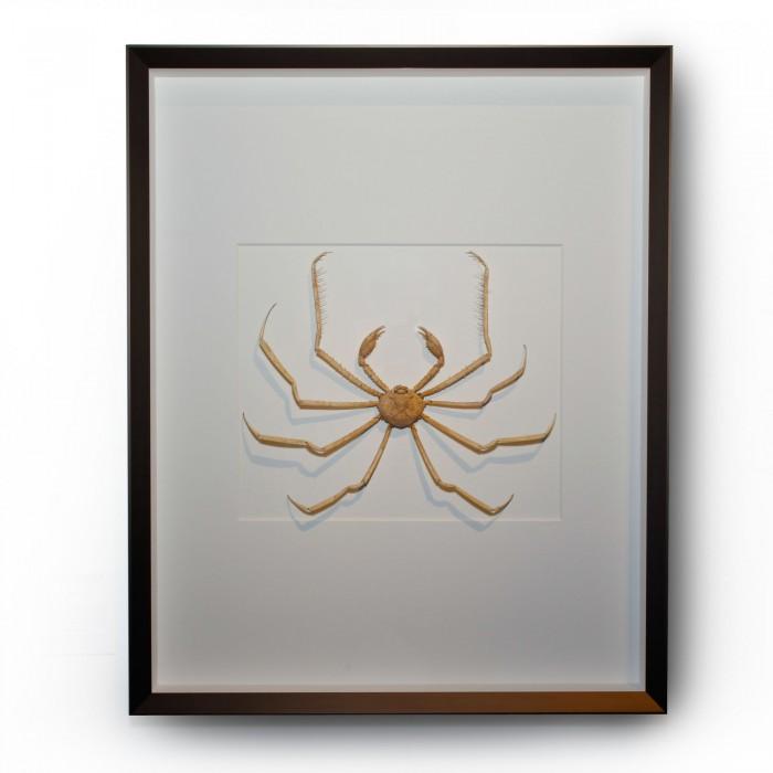 24 x 30 Ramifera Crab 1
