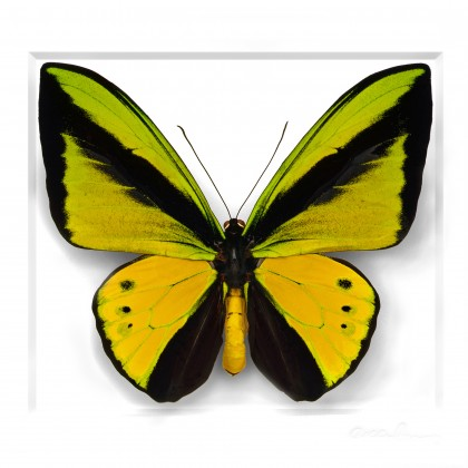 Goliath Birdwing in Black