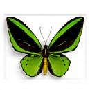 Greens Cairns Birdwing in Black 2