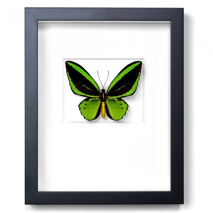 Greens Cairns Birdwing in Black 1