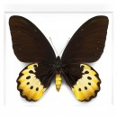 Female Goliath Birdwing in Black 2