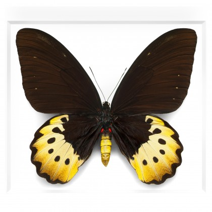 Female Goliath Birdwing in Black
