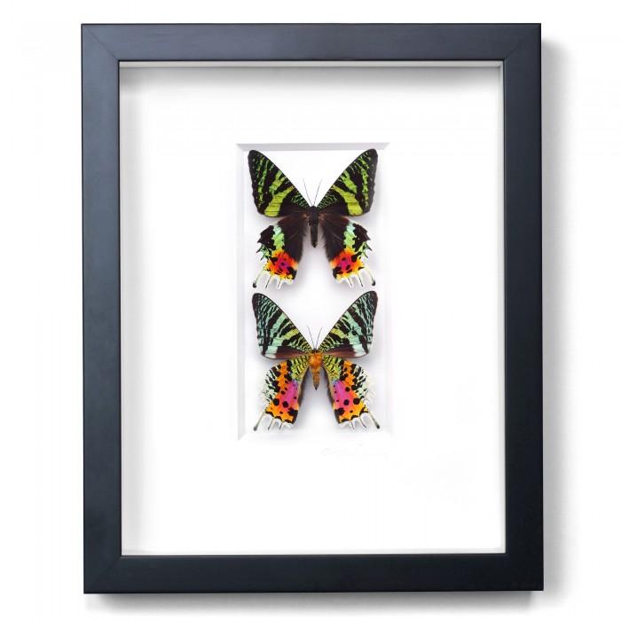 11 x 14 Sunset Moth Duo 1