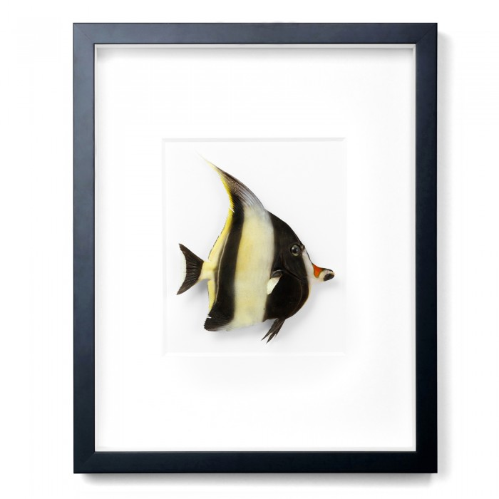 14 x 18 Moorish Idol 1