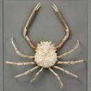 16 x 20 Snow Spider Crab 2