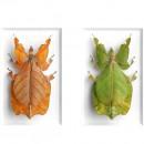 16 x 20 Walking Leaf Cycle 2