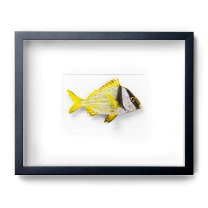 18 x 14 Striped Rabbitfish 1