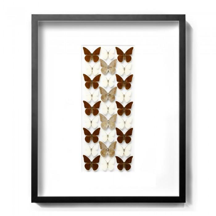 24 x 30 Chocolate Appias – Butterflies 1