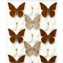 24 x 30 Chocolate Appias – Butterflies 2