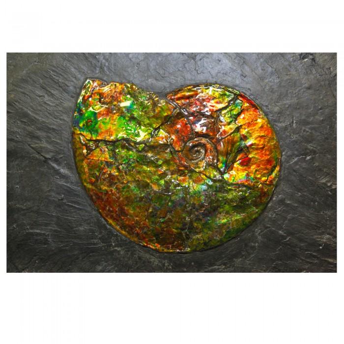 02_CF1_1070 Ammonite 1