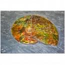 02_CF1_1070 Ammonite 2