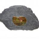 02_CF1_1070 Ammonite 4