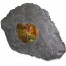 02_CF1_1070 Ammonite 5