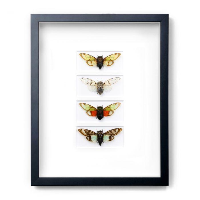 11×14 Tropical Cicadas 1