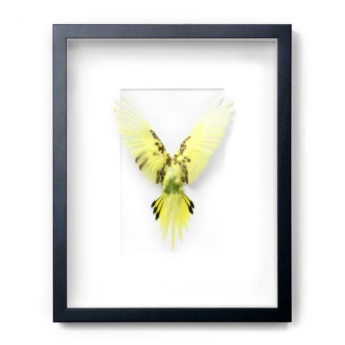 Framed 14 x 18 Shell Parakeet Bird (Gray, white, brown) 1
