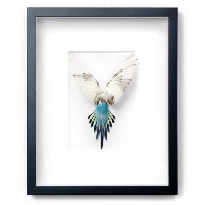 Framed 14 x 18 Shell Parakeet Bird (White, yellow, blue)