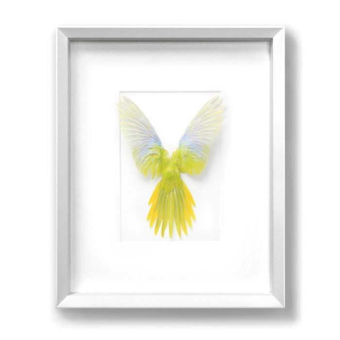 16×20 Turquoisine Parrot – Yellow and White 1