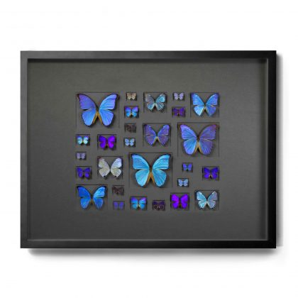 40x30 Cerulean Butterflies on Graphite