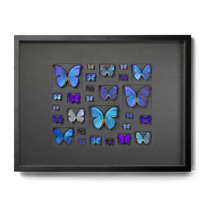 40×30 Cerulean Butterflies on Graphite 1