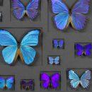 40×30 Cerulean Butterflies on Graphite 2