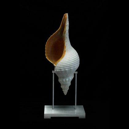 Horse Conch Pedestal