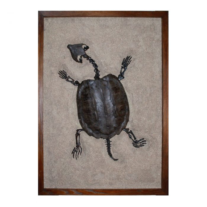 Fossil Alligator Snapping Turtle 1