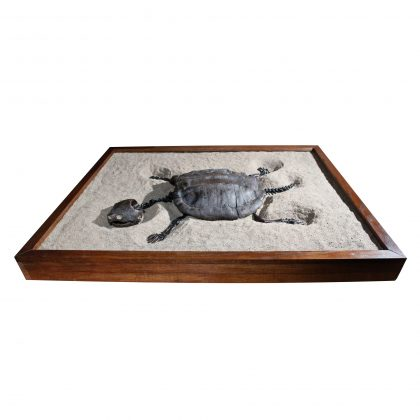 Fossil Alligator Snapping Turtle