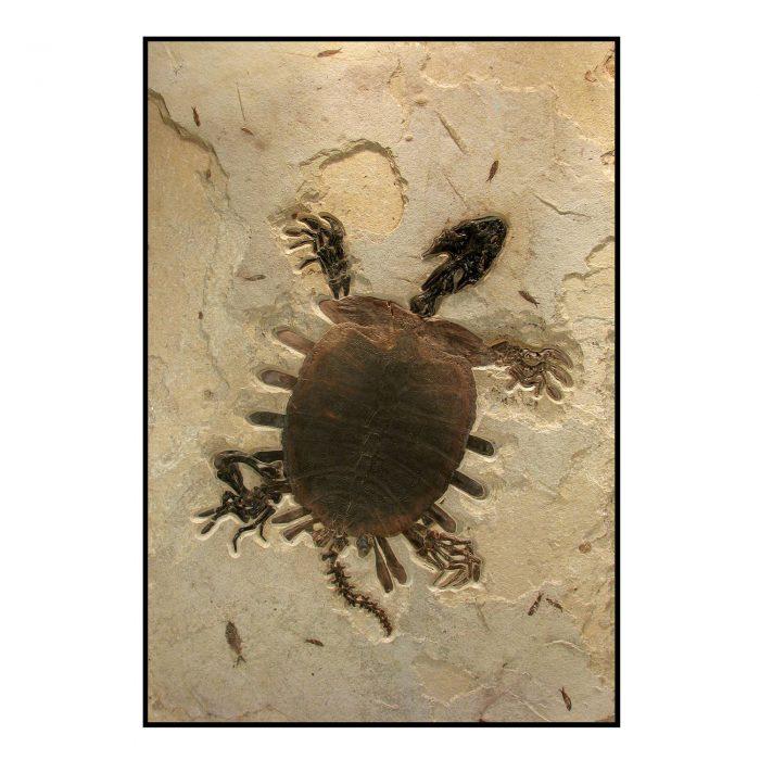 Turtle Trionyx Softshell Fossil Mural 1