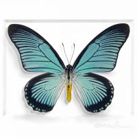 11 x 14 African Blue Swallowtail 2
