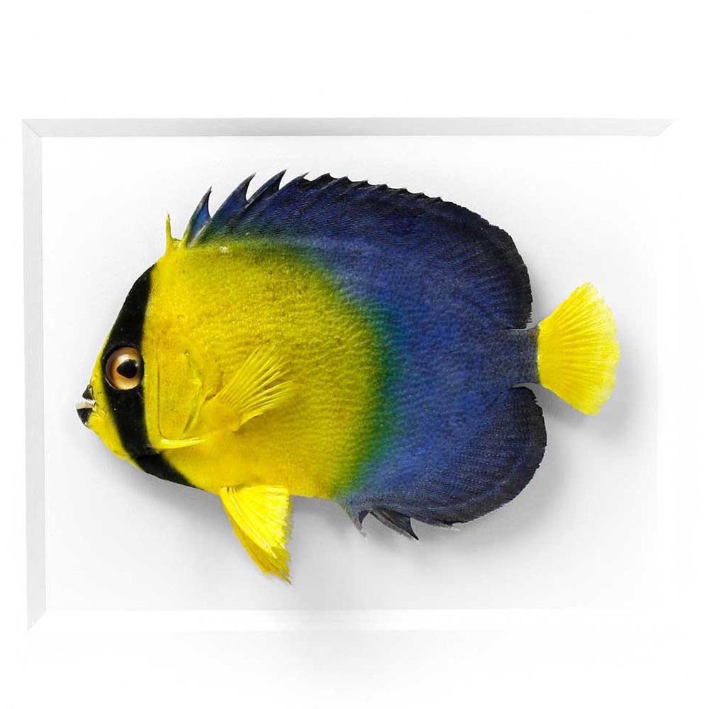 11 x 14 Angelfish