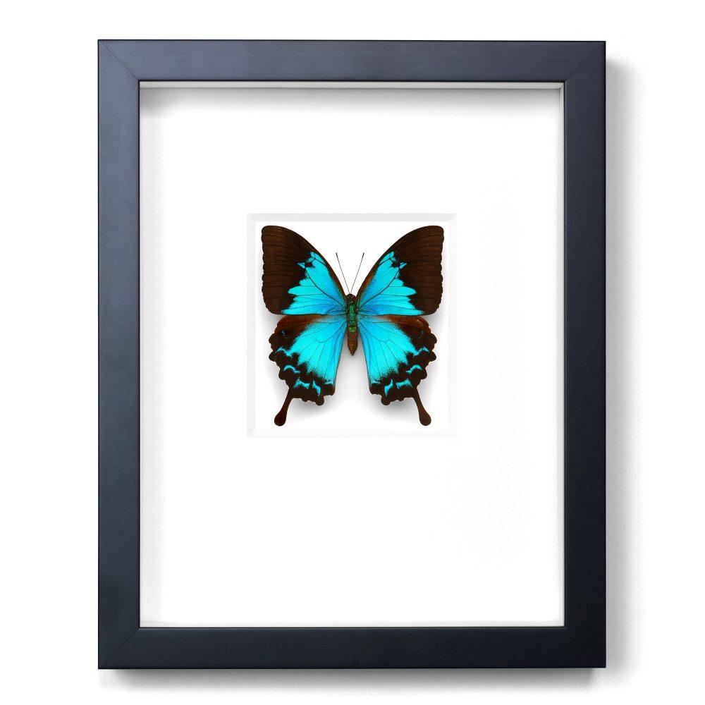 11 x 14 Cobalt Swallowtail Butterfly