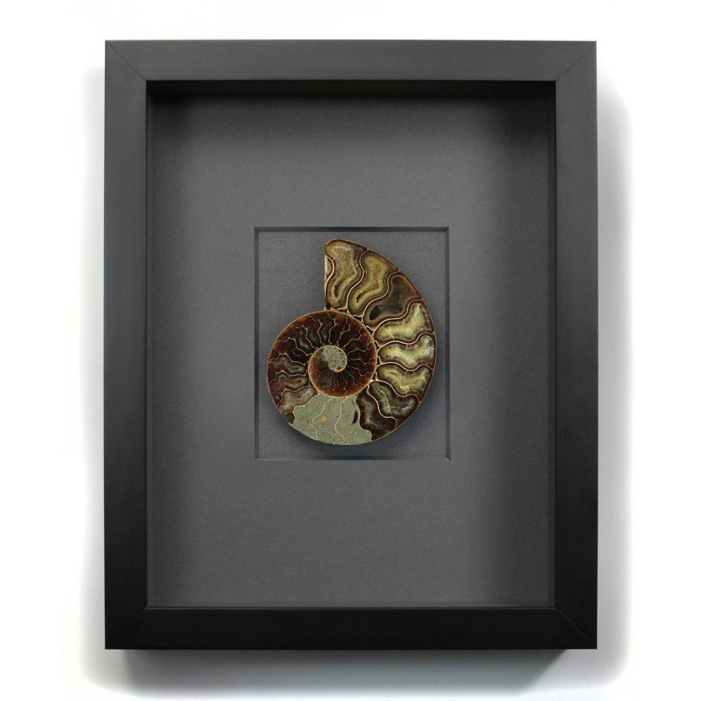 11 x 14 Cretaceous Ammonite Fossil