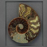 11 x 14 Cretaceous Ammonite Fossil 2